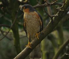 Sparrowhawk. (john a gormally) Tags: sparrowhawk accipiternisus wildbird wigangarden urbanwildlife lancashire sigma150500lens nikond7100