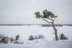 Kasaberget (Markus Heinonen Photography) Tags: kasaberget kasavuori espoo esbo espoonlahti mänty tall pine puu tree träd maisema landscape talvi winter suomi finland europe luonto nature