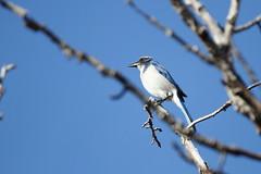 California Scrub Jay, Aphelocoma californica (jlcummins) Tags: bird snowmountainranch cowichecanyonconservancy washingtonstate yakimacounty aphelocomacalifornica