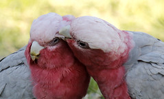 galahs grooming (Griffins Photos) Tags: perth australian galah pinkandgrey pink grey bird parrot