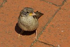 IMG_5538 (Lightcatcher66) Tags: spatzensparrows florafauna makros lightcatcher66