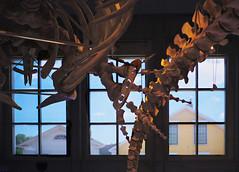 Neighbors... (ruthiedee) Tags: bones dinosaur dinosaurbones window houses neighbors explore