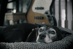Mazie & Fender. 1 (EOS) (Mega-Magpie) Tags: canon eos 60d indoors mazie pet dog puppy cute fender jazz bass music instrument she female