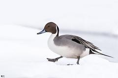 "''Petite marche!"" Canard pilet-Anas acuta (pascaleforest) Tags: bird oiseau animal duck canard nikon nature winter hiver snow neige québec canada wild wildlife faune"