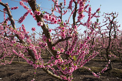 DSC_1194 (rskim119) Tags: fresno fruit tree blossom flower trail spring