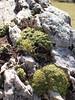Saxifrage musquée (L'herbier en photos) Tags: benasque huesca ribagorce aragon espagne ribagorça ribagorza aragón españa posets maladeta pyrénées pirineo pirineos pa0433 saxifragacées saxifragaceae saxifraga exarata subsp moschata wulfen cavill saxifrage musquée musky calafraga consuelda fina