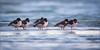 Rastende Austernfischer (Oystercatcher) (tzim76) Tags: haematopus ostralegus oystercatcher austernfischer meer rast schlaf see ostsee usedom wasser watvögel limokole birding birdwatching outdoor nature wildlife