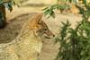 Canis aureus (Michel Vedder) Tags: burgerszoo canisaureus goudjakhals animals dieren dierentuin zoo arnhem gelderland nederland nl