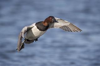 Flying Canvasback...