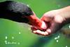 Comiendo de la mano 2 (Eva Cocca) Tags: naturaleza nature pato duck comiendo eating mano hand animal