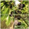 (Tölgyesi Kata) Tags: sarcococcaconfusa bokrosbogyóspuszpáng buxaceae sweetbox mozaik mosaic arboretum budaiarborétum withcanonpowershota620 garden winter tél macro termés fruit blackberry