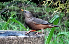 DSC00548 Chestnut-tailed Starling (Sturnus malabaricus) (vlupadya) Tags: greatnature animal aves fauna indianbirds chestnuttailed starling sturnus kundapura karnataka