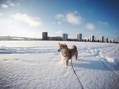 Sunny Afternoon (pjen) Tags: shiba shibainu shibaken nihonken hiro dog koira primitive breed spitz japanese finland 日本犬 柴犬 urajiro winter snow lake icy ice sunny sun