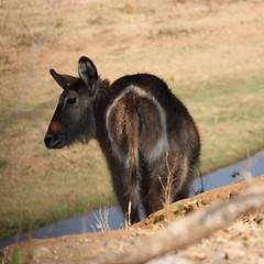 On the Edge...( Waterbuck / Waterbok ) (Pixi2011) Tags: antelope animals nature wildlife krugernationalpark