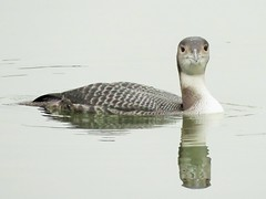 Great Northern Diver (brianwaller703) Tags: great northern diver