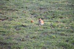 IMG_3671 (Jeff And) Tags: birds grass park harrow kenton greenhill redwing harrowrecreationground gull gulls