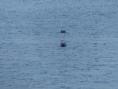 Nosy Seals (Marit Buelens) Tags: seal seals nostrils swimming coast gugh stagnes scillies islesofscilly ios silly