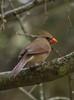 Cardinal with Ice (supermonkee) Tags: cardinal femalecardinal sleet winter bird