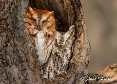 the love birds (Anne Marie Fraser) Tags: lovebirds owl owls screechowls wildlife mates nature animal tree hole love pair screech cute easternscreechowls