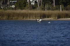 Pelican Takes Flight (Hollingsworth18) Tags: