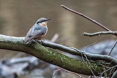 Nuthatch (jillyspoon) Tags: nuthatch niddgorge perched harrogate branch canon70d canon70200 canon70200mm bird feathers northyorkshire rivernidd onebird winter