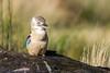 Kookaburra (Click U) Tags: kookaburra