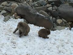 IMG_3453 monkey onsen (drayy) Tags: nagano japan monkeyonsen snowmonkeys yaenkoen jigokudani monkey onsen macaque japanesemacaque