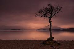 Milarrochy Dusk (Tracey Whitefoot) Tags: tracey whitefoot 2014 milarrochy tree scotland dusk sunset evening lone calm warm tones scottish loch lomond still water lake light