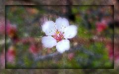 SIGNO DEL RENACIMIENTO Y SÍMBOLO DE LA FRAGILIDAD (☮ Montse;-))) Tags: textura almendro macro blossom