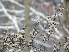 Frost Aster (BlueRidgeKitties) Tags: canonpowershotsx40hs snow asteraceae symphyotrichumpilosum frostaster seed