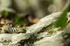 Couleuvre verte et jaune Hierophis viridiflavus (baptiste.lasnier) Tags: corse nature couleuvre serpent verte et jaune écaille regard faune