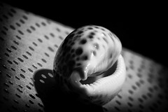SPOT ON! #speckled (Ageeth van Geest) Tags: mm dots map paper contrast light hmm speckled macromondays macro shell spot