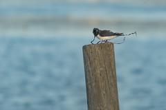 Wood Swallow with Nesting Material (Merrillie) Tags: small nsw woywoy swallows wildlife australia twoofakind swallow bird birds woodswallows animals fauna tiny newsouthwales animal