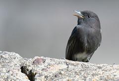 Black Phoebe (Sayornis nigricans) (Adam Dhalla) Tags: sayornis nigricans black phoebe costa rica cr wild bird ujarras ruins flycatcher america