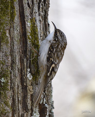 Brown Creeper (jt893x) Tags: 150600mm bird browncreeper certhiaamericana creeper d500 jt893x nikon nikond500 sigma sigma150600mmf563dgoshsms songbird thesunshinegroup coth alittlebeauty coth5