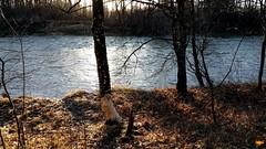 """Iller -der Fluss > Biberverbiss / Iller-the river > Beaver dogged / Iller-la rivière > travail de castor (warata) Tags: 2017 deutschland germany süddeutschland southerngermany schwaben swabia oberschwaben upperswabia schwäbischesoberland badenwürttemberg biberverbiss biber beaver castor iller river fluss rivière """"samsung galaxy note 4"""""""