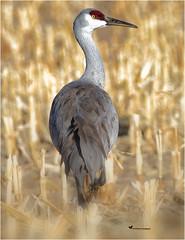 THE STRUT (Aspenbreeze) Tags: sandhillcrane largebird bird avian crane wildbird nature wildanimal wildlife rural coloradobirds coloradowildlife bevzuerlein moonandbackphotography aspenbreeze