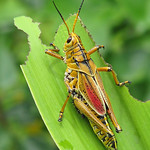 a giant grasshopper - Florida thumbnail