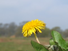 Dandelion (Philip_Goddard) Tags: dandelion taraxacum compositae asteraceae wildflowers floweringplants angiosperms plants nature naturalhistory southwestengland england unitedkingdom britain british britishisles greatbritain uk europe sky yellow