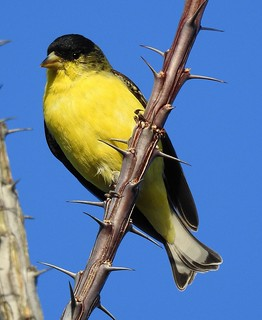 Lesser Goldfinch-12518 (7)