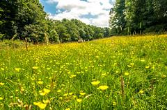 Meadow (Tony Shertila) Tags: europebritainenglandcheshirelymmwalknational trust pig lymm meadow field grass buttercup flower tree countryside scenic lymehandley england unitedkingdom gbr