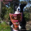 Happy Mother's 'Day Mom (ASHA THE BORDER COLLiE) Tags: funny dog picture mothers day holding card ashathestarofcountydown littledoglaughedstories