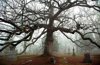 "Cincinnati – Spring Grove Cemetery & Arboretum ""Foggy Morning At Old Oak Tree"""