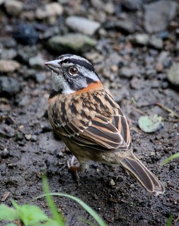 Rufous collared sparrow, Costa Rica