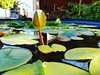 A Lotus flower and Lily Pads in a friend's garden #lotus #flower #lilypad #lotusflower #beauty #awesome #water #garden #summer #melbourne #bokeh #closeup #macro (markachatwin41) Tags: lotusflower beauty flower awesome water macro garden summer closeup lotus melbourne bokeh lilypad