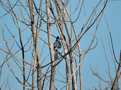 Blue Jay (Wild Bird Company) Tags: bluejay cyanocittacristata bluejaycolorado bluejayboulder wildbirdboulder wildbirdcolorado wildbirdcompany formerwildbirdcenter notwildbirdsunlimited birdseed birdwalk saturdaymorningbirders goldenpondsparkandnaturearea cityoflongmontopenspace colorado longmont eileenrutherford