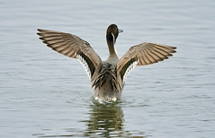 Northern pintail (Ratsiola) Tags: elements anas nature wildlife naturalworld wings stretch patterns environment ducks symmetry