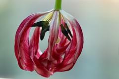 Quick she's coming, let's sulk (AngharadW) Tags: indoorphotography upsidedown stem stamen veins red petal green dof macro angharadw sulking nowater flower
