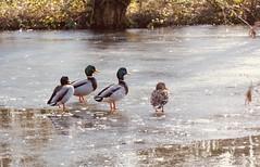 Animals. (ost_jean) Tags: ducks eenden canards animals dieren ostjean nikon d5200 tamron sp 90mm f28 di vc usd macro 11 f004n belgie belgica belgique belgium vilvorde vilvoorde ice