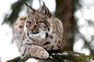 Europäischer Luchs - European Lynx